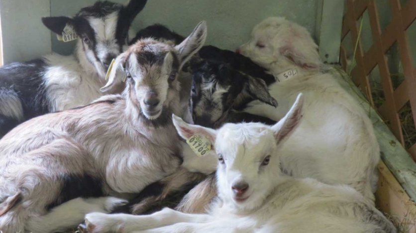 The goats at Avalanche Cheese Company's Paonia dairy-farm