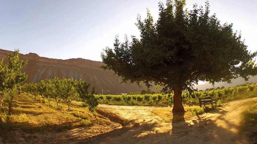 An old apricot tree in front of Palisade's Grand Mesa