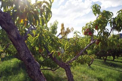 Peaches at the Austin Family Farm