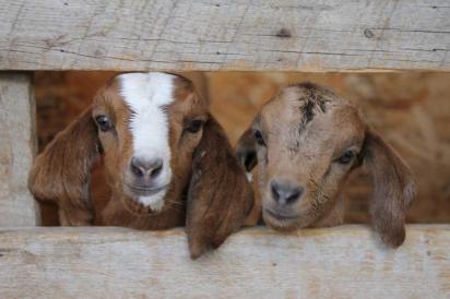 Baby goats at Horse & Hen in Hayden, CO