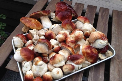 Wild foraged porcini mushrooms