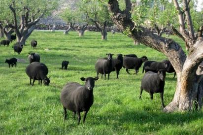 Black Welsh sheep graze at Desert Weyr