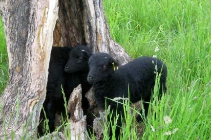 Black Welsh lambs