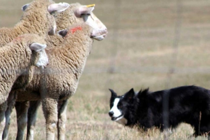 Sheep rounded by stock dog