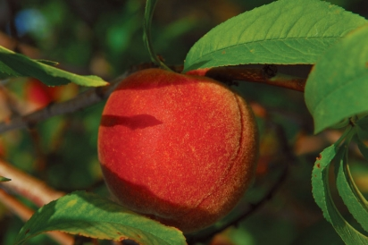A peach grows in Early Morning Orchard